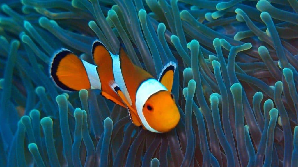 Anemone-fish Jpg
